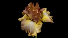 Timelapse Of Yellow Brown, Golden Iris Flower Opening, Close Up. Easter, Spring, Holidays Concept.