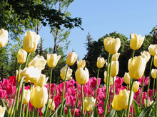 Yellow And Pink Tulips In The Park Against The Blue Sky