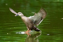Eastern Spot Billed Duck In The Pond