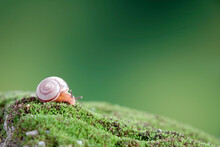 Snail : Siamese Land Snail. Selective Focus, Blurred Green Background With Copy Space
