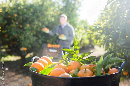 Obraz na plátně Close up of plastic box full of ripe mandarins and man on plantation on backgrou