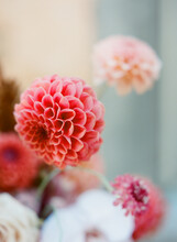 Close Up Of Beautiful Coral Dahlia Flower