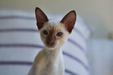 Tiny Siamese Kitten