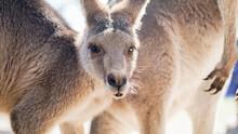 Close Up Of Kangaroo Looking Into Camera