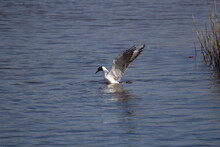 Black-Headed Gull (Chroicocephalus Ridibundus)  Wings Raised Diving For Food Into The Blue Water Of A Lake