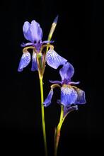 Two Siberian Iris In Full Bloom On Black