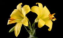 Fleur Jaune Du Lis Asiatique