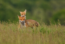 Fox Cub Playing With The Mother Fox On The Meadow