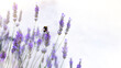 Bumble bee on lavender flower. Banner image with soft bokeh