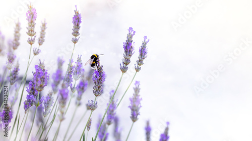 Foto Bumble bee on lavender flower. Banner image with soft bokeh