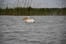 Rare Species Of Pelicans Caught In The Danube Delta Romania