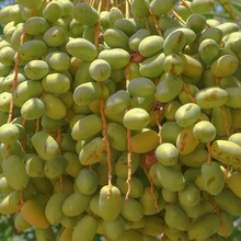 Fresh Green Dates On Date Palm Background. Bunch Of Ripening Fruits Date On A Date Palm Tree In Farmland.