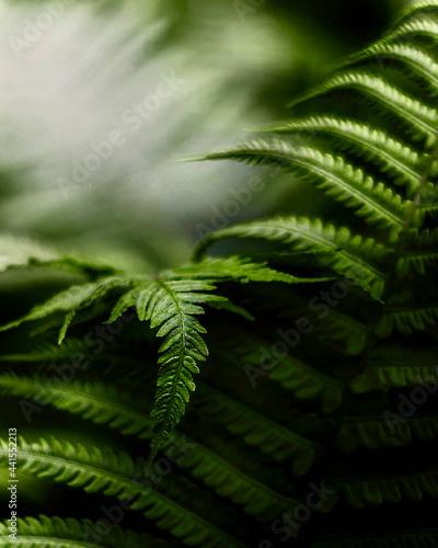 Tytuł: Zielone liście paproci w świetle ciemnego, parku. Naturalny wzór tekstury, tła. Może służyć jako obraz, tapeta.