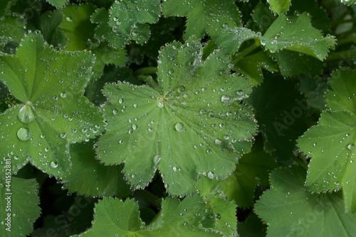 Photo Full frame image of dew or raindrops on alchemilla mollis foliage