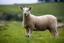 Yorkshire Dales Lamb