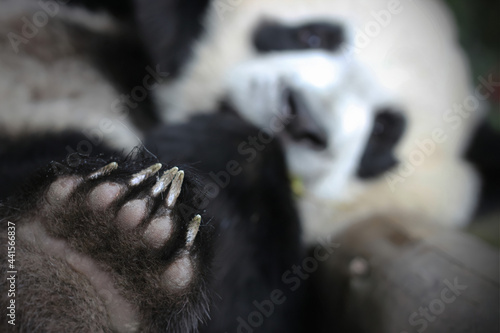 Murais de parede Giant panda paws are so cute and funny