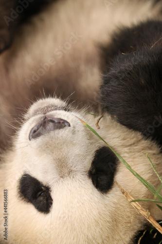 Tela Beautiful and cute panda cub eating bamboo and showing his paws and wonderful bl