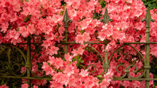 Blossoming Red Rhododendron Behind A Rustic Vintage Patina Covered Gate And Fence. Close Up.