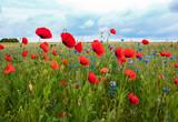 Fototapeta Kwiaty - czerwony mak, maki, łąka, polana, niebo, kwiatki, krajobraz, widok, kwiaty polne