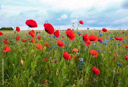 czerwony mak, maki, łąka, polana, niebo, kwiatki, krajobraz, widok, kwiaty polne