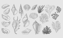 Set Of Seashells And Algae Vectors. Hand-drawing Illustration With Engraved Line. Collection Of Realistic Sketches Of Molluscs Seaweed Shells Of Various Shapes.