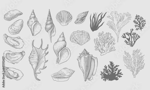 Fotografie, Obraz Set of seashells and algae vectors