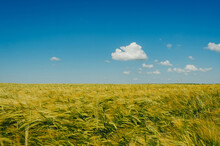 Spikelets Of Wheat In The Field On A Background Of Blue Sky With Small Clouds
