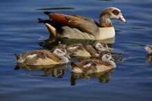 Egyptian Goose With Goslings In A Park Of London, UK