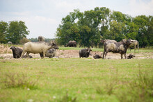 Water Buffaloes Bathing In A Pond In A Pasture.