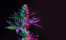 Purple Green Marijuana Plant On Black Background. Colored Neon Large Leaves And Buds Of Cannabis Hemp. Hemp Bush And Empty Space For Text