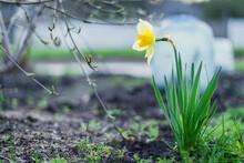Beautiful Yellow Daffodil Flower Close Up
