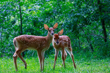 Two White Tailed Fawn Deer Standing In A Pennsylvania Forest With Ears Perked.