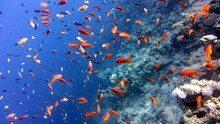 Red And Yellow Fish