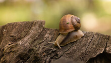 The Snail Is Crawling Along The Stump. A Large Snail Crawls Along The Log In The Forest After The Rain.