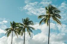 Coconut Palm Tree. Kahanamoku Beach, Waikiki, Honolulu, Oahu, Hawaii.