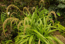 Garden Design. Ornamental Grasses. Closeup View Of Seteria Sulcata, Also Known As Palm Grass, Green Leaves Foliage And Flowers, Spring Blooming In The Park.