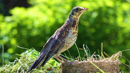 Fotografia Sparrow male songbird (Passer domesticus) sitting.