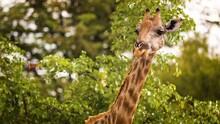 Giraffe Walk Through The Savannah Between The Plant.