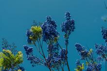 Jacaranda Mimosifolia. Violet-colored Flowers. Jacaranda, Blue Jacaranda, Black Poui, Or Fern Tree. Green World Coffee Farm,Honolulu, Oahu, Haswaii