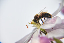 Closeup Shot Of A Bee Pollinating A Purple Flower On A White Background