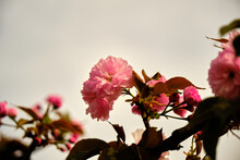 Judas Tree And Blossom Of It Magnificent Pink Color Flower With Sky Background.