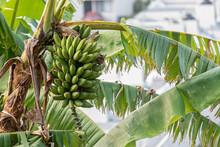 Closeup Shot Of Green Bananas Ripening On A Palm Tree