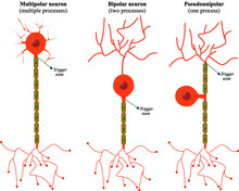 Classification Of Neurons According To The Number Of Extensions That Project Out Of The Soma