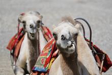 Desert Camels Resting On The Sand In Gansu, China