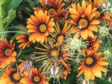 Closeup Shot Of Yellow Gazania Flowers