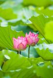 Fototapeta Kawa jest smaczna - Beauty pink lotus on focus is in middle lotus field