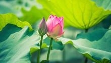Beauty Pink Lotus On Focus Is In Middle Lotus Field