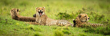 Panorama Of Three Cheetahs Lying On Grass