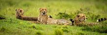 Panorama Of Three Cheetahs Lying In Savannah