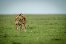 Lioness Stands Turning Head Right In Grass